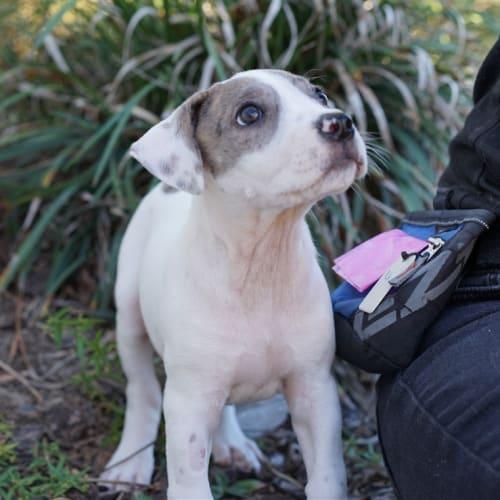 Elsie - Bull Arab x Pointer Dog