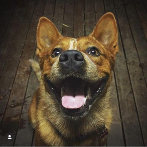 Chaps - Blue Heeler Dog