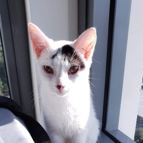 Yang - Domestic Short Hair Cat