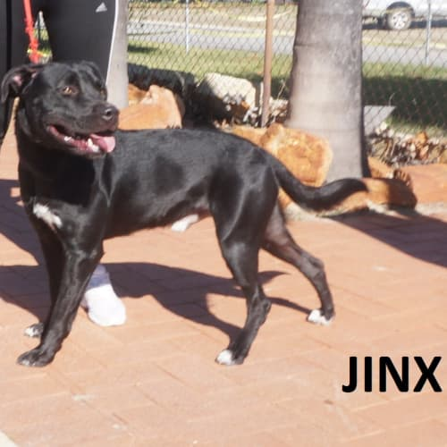 Jinx - Staffy x Labrador Dog