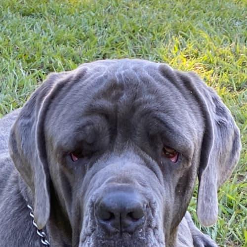 Bossco - Neapolitan Mastiff Dog