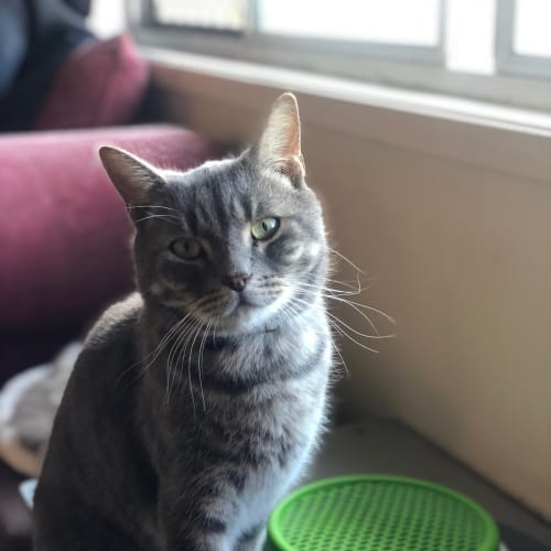 Mozzarella - Domestic Short Hair Cat