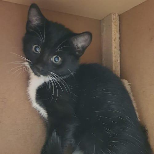 Lucius - Domestic Short Hair Cat