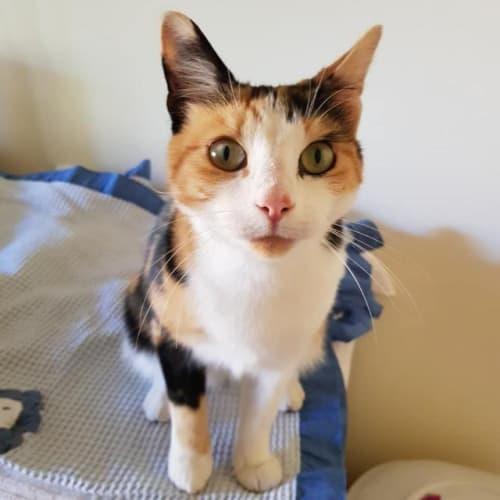 Milo - Domestic Medium Hair Cat