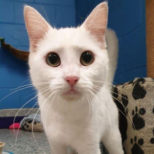 Polar - Domestic Short Hair Cat