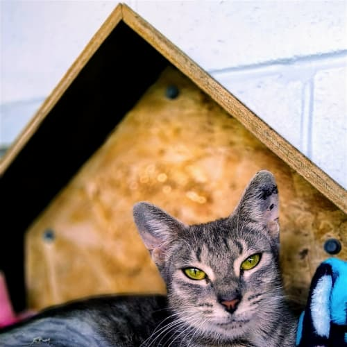Mitzy - Domestic Short Hair Cat