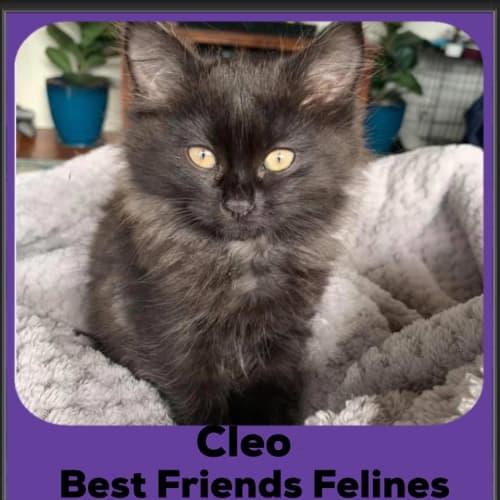 Cleo  - Manx Cat