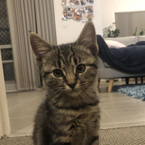 Maggie - Dsh Cat