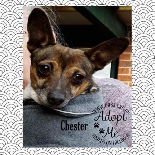 Chester - Miniature Fox Terrier Dog