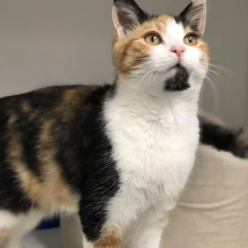 Georgie - Domestic Short Hair Cat
