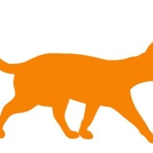 Moo - Domestic Short Hair Cat