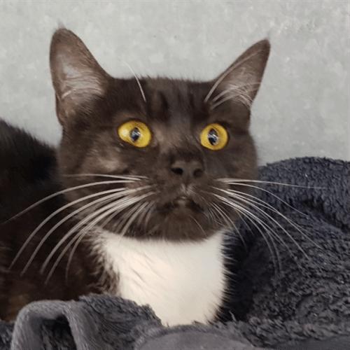 Genevieve - Domestic Short Hair Cat