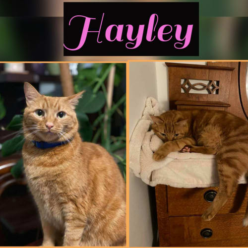 Hayley - Domestic Short Hair Cat