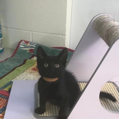 Elsie - Domestic Short Hair Cat