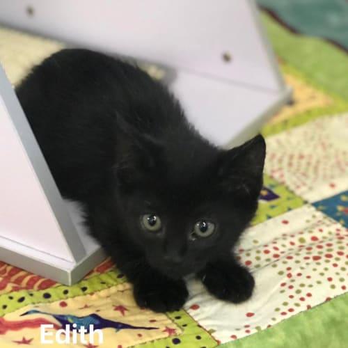 Edith - Domestic Short Hair Cat