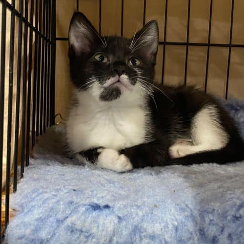 Tate - Ragdoll Cat