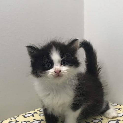 Dozer - Ragdoll Cat