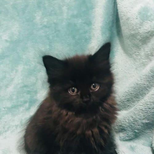 Dakota - Ragdoll Cat