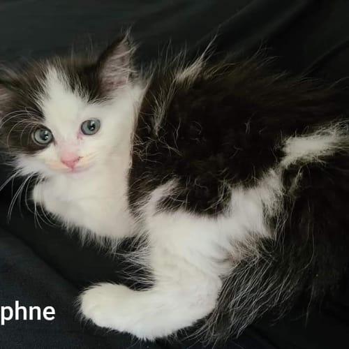Daphne - Ragdoll Cat