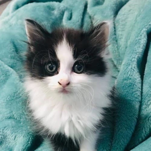 Delta - Ragdoll Cat