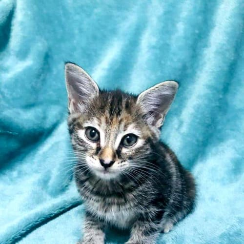 Dixie - Domestic Short Hair Cat