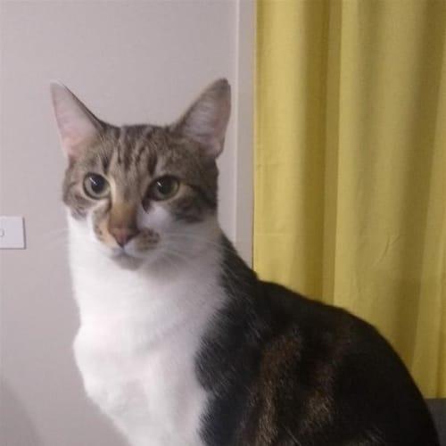 Apollo - Dsh Cat