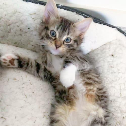 Cordelia💋 - Domestic Short Hair Cat
