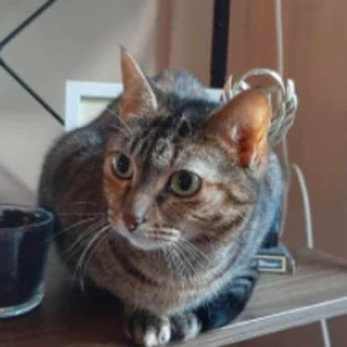 Tia - Domestic Short Hair Cat
