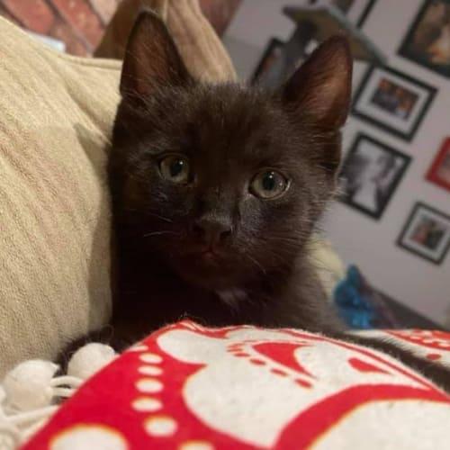 Crash - Domestic Short Hair Cat