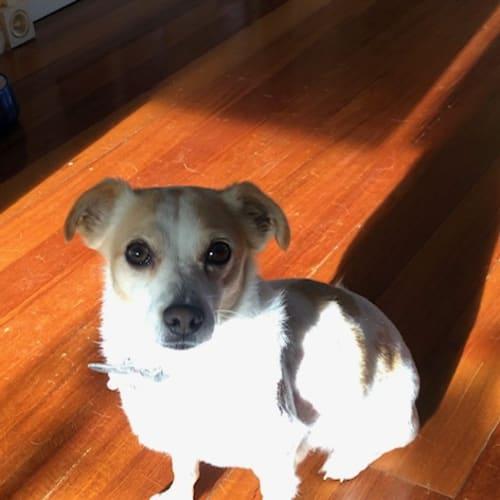 Peanut - Jack Russell Terrier Dog