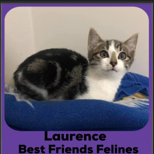 Laurence  - Domestic Short Hair Cat