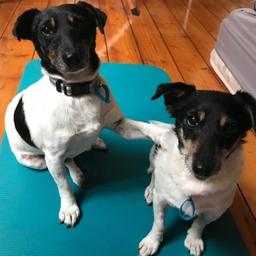 Mummy & Jack (Bonded Pair) - Jack Russell Terrier Dog