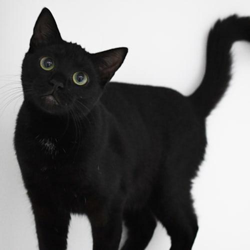 Anthea 8485 Campbelltown ACF - Domestic Short Hair Cat