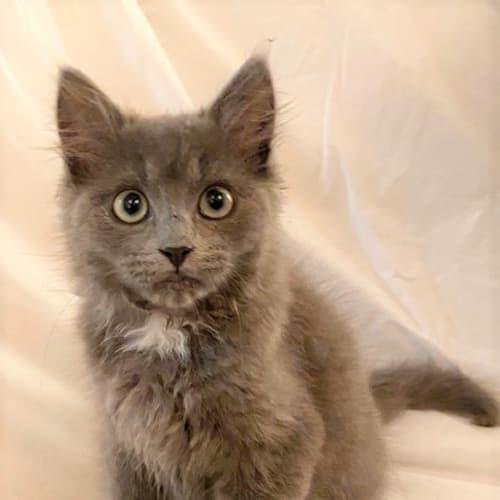 Abu - Domestic Short Hair Cat