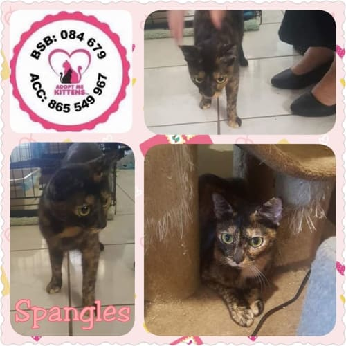 Spangles - Domestic Short Hair Cat