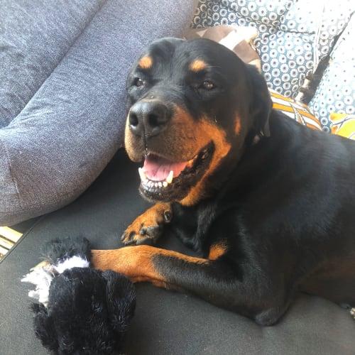 Sheila DL2439 - Rottweiler Dog