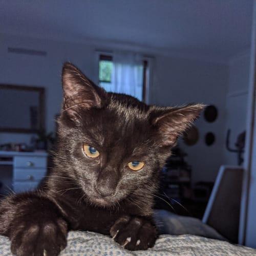 Matilda - Domestic Short Hair Cat