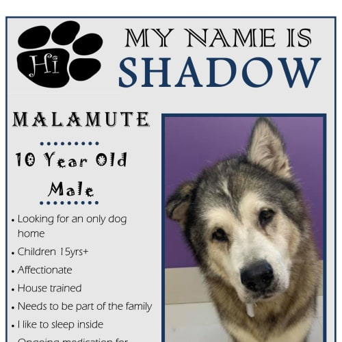 Shadow - Alaskan Malamute Dog