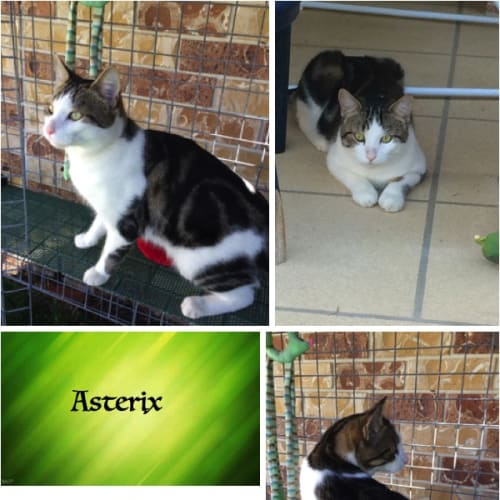 Asterix - Domestic Short Hair Cat