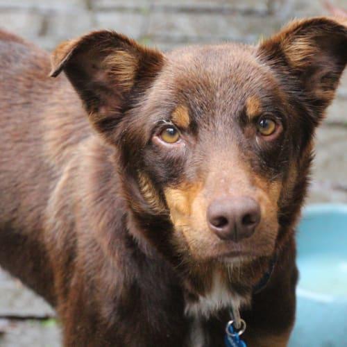 Bear - Border Collie x Kelpie Dog
