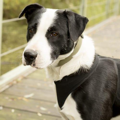 Billy ~ handsome 1yo Border Collie x Staffy - Border Collie x Staffy Dog