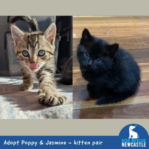 Poppy and Jasmine ~ beautiful kitten pair - Domestic Short Hair Cat