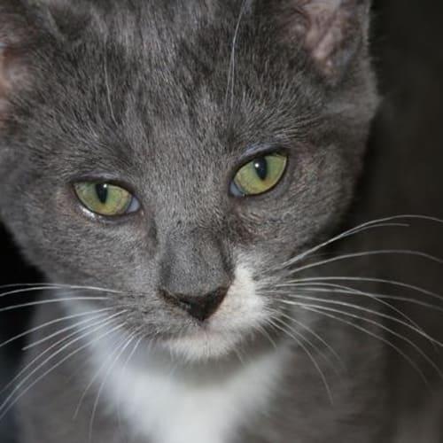Sky Luna - Domestic Short Hair Cat