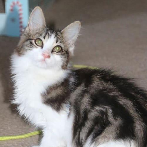 Sunshine Luna - Domestic Short Hair Cat