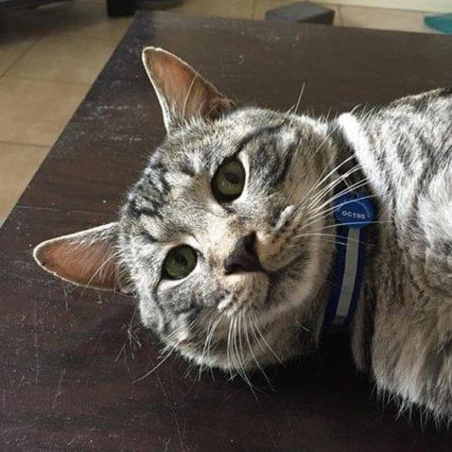 Covy (Niku) - Domestic Short Hair Cat