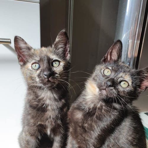 Snickers & Sprinkles - Domestic Short Hair Cat
