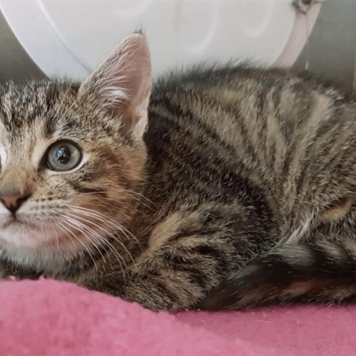 Dotty - Domestic Short Hair Cat