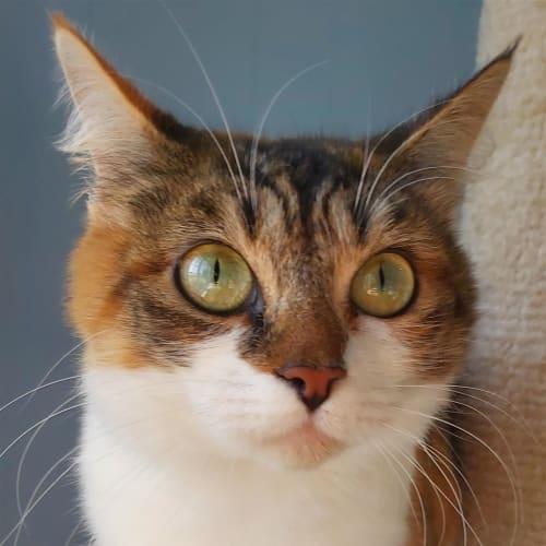 Kittey - Domestic Short Hair Cat