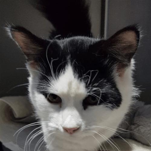 Shana - Domestic Medium Hair Cat