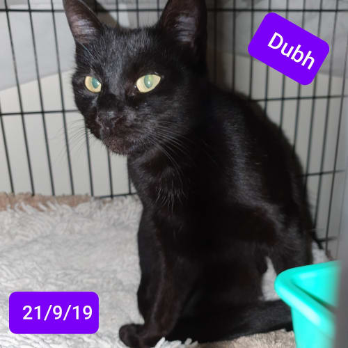 Dubh - Domestic Short Hair Cat